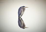 Resting Blue Heron
