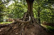 roots of a oak tree in the Wahner Heath on Telegraphen hill, Troisdorf, North Rhine-Westphalia, Germany.<br /> <br /> Wurzel einer Eiche in der Wahner Heide am Telegraphenberg, Troisdorf, Nordrhein-Westfalen, Deutschland.