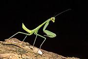 Green praying mantis (Hierodula sp.) from Komodo Island, Indonesia.