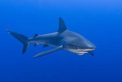 Galapagos shark, Carcharhinus galapagensis, San Benidicto, Revillagigedos, Mexico, Pacific Ocean