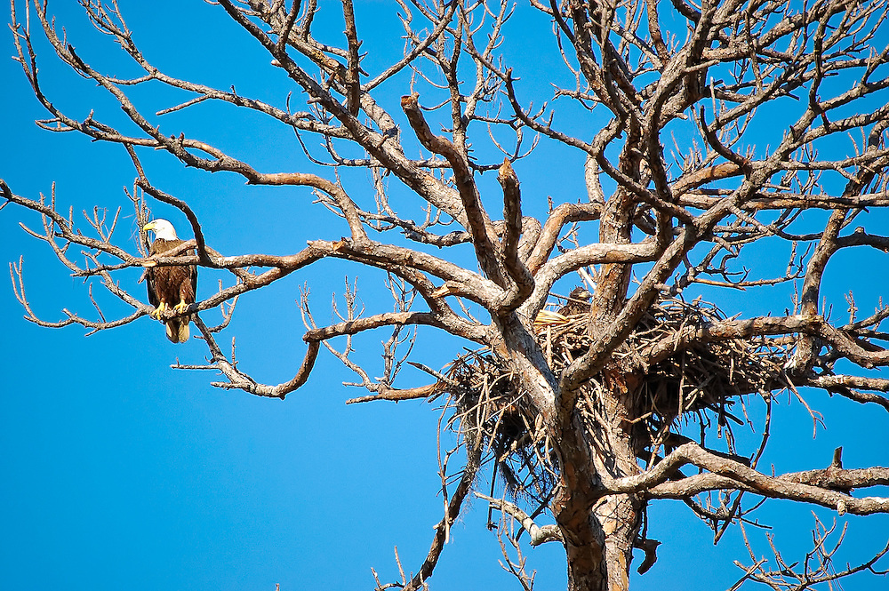 Bald eagle with massive nest in the Estero Bay Preserve in SW Florida. Can you see the dark brown baby poking its head out of the nest?