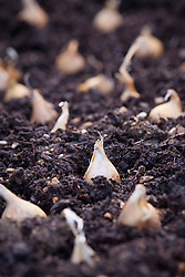 Dutch iris bulbs spaced out on the ground ready to plant