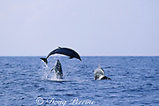 fighting bottlenose dolphins, Tursiops truncatus: lower dolphin rises up toward jumping dolphin, Hawaii ( Pacific Ocean ) (2 of 3)