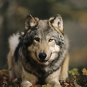 Gray Wolf in a hardwood forest in northern Minnesota. Captive Animal