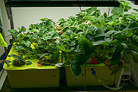 Hydroponic Tub 01-02. Strawberry Plants (85 days). Image taken with a Leica TL-2 camera and 35 mm f/1.4 lens (ISO 250, 35 mm, f/8, 1/50 sec).