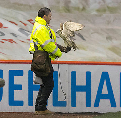A hawk is used to scare away sea gulls during the Ladbrokes Scottish Premiership match at Pittodrie Stadium, Aberdeen