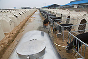 A worker feeds calfs housed in kennels at Austasia's No. 3 dairy farm in Dongying, Shandong Province, China on 31 October, 2013. By the end of 2014, the pan-Asian diary group will have invested more than $US300 million in China and have around 55,000 cattle in its herd. The rapidly increasing dairy demand from China is pushing global prices higher, especially after food safety scandals have wrecked consumer confidence in local Chinese producers, spelling ample opportunity for global producers.