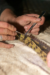 Cutting Scuts For ID's Of Crocodile