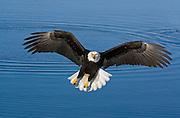Bald Eagle, Haliaeetus leucocephalus, flying, landing, Kenai Peninsula, Homer Spit, Homer, Alaska. Digital original, #2006_0813 ©Robin Brandt