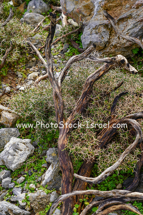 The struggle for survival a tree struggles with hardship. Photographed in Crete, Greece