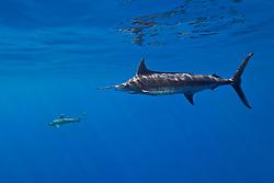 free-swimming Pacific blue marlin, (Pantropical blue marlin, Makaira nigricans, or Indo-Pacific blue marlin, Makaira mazara - still debating), and oceanic whitetip shark, Carcharhinus longimanus, Kona Coast, Big Island, Hawaii, USA, Pacific Ocean