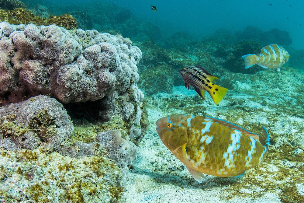Blue-Chin Parrotfish (Scarus ghobban)<br /> Sullivan Bay<br /> Santiago<br /> Galapagos<br /> Ecuador<br /> South America