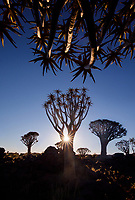 The Quivertree Forest near Keetmanshoop, Namibia