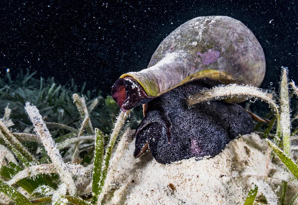 A true tulip (fasciolaria tulipa) is a large marine snail. Eleuthera, Bahamas.