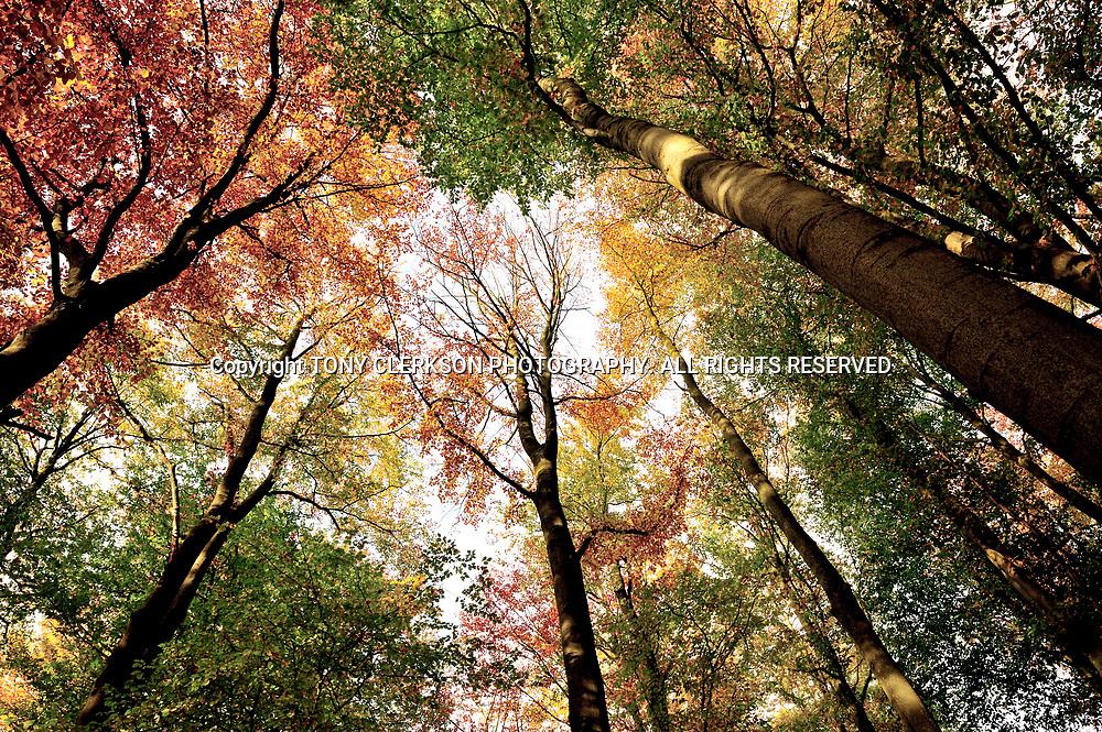 Autumn colours on treetops in Glasgow's Pollok Park