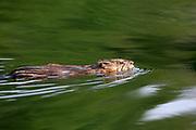 Muskrat swimming in wetland habitat