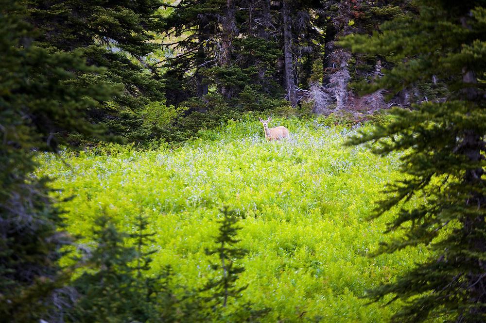 A black-tailed deer (Odocoileus hemionus columbianus) stands in flowering meadow in Okanogan National Forest, Washington.