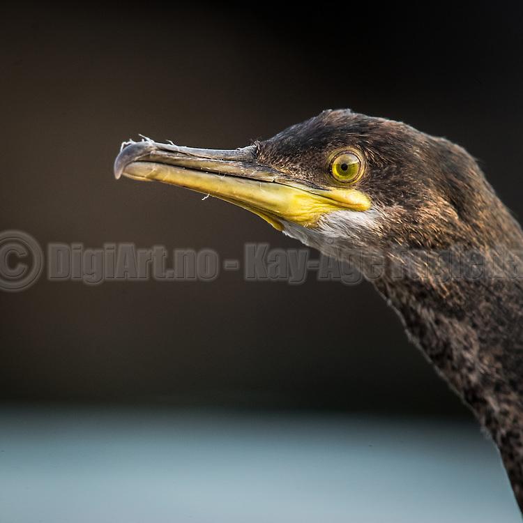 Cormorate headshot | Portrett av Skarv