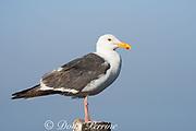 western gull, Larus occidentalis, adult, standing on post, Piedras Blancas, near San Simeon, California, United States ( Eastern Pacific Ocean )