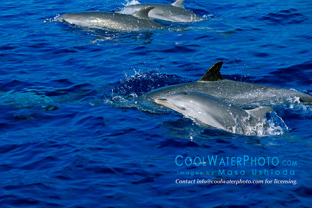 pantropical spotted dolphins with calf, Stenella attenuata, off Kona Coast, Big Island, Hawaii, Pacific Ocean