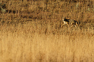 Coyote, Canis latrans, Yellowstone National Park, Wyoming, USA