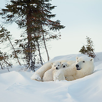 Mother Polar Bear resting with her two three-month-old cubs in Wapusk National Park south of Churchill Manitobe Canada near the Hudson Bay.