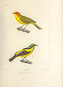 hand coloured sketch Top: Hylophilus ruficeps Bottom: yellow-bellied dacnis (Dacnis flaviventer) From the book 'Voyage dans l'Amérique Méridionale' [Journey to South America: (Brazil, the eastern republic of Uruguay, the Argentine Republic, Patagonia, the republic of Chile, the republic of Bolivia, the republic of Peru), executed during the years 1826 - 1833] 4th volume Part 3 By: Orbigny, Alcide Dessalines d', d'Orbigny, 1802-1857; Montagne, Jean François Camille, 1784-1866; Martius, Karl Friedrich Philipp von, 1794-1868 Published Paris :Chez Pitois-Levrault et c.e ... ;1835-1847