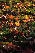 Late afternoon sun shines on autumn leaves in Parsons Green, south-west London