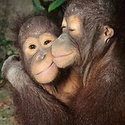 Orang-utan (Pongo pygmaeus) portrait of a juvenile pair hugging each other. Borneo, Malaysia