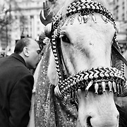 LONDON, ENGLAND - FEBRUARY 07: A Shiite Muslim devotee pays respects to a horse representing Imam Husain horse Zuljina during the 29th Arbaeen Procession on February 7, 2010 in London, England. Arbaeen occurs 40 days after the day of Ashura, the commemoration of the martyrdom of Imam Husain in Karbala (Photo by Marco Secchi/Getty Images)