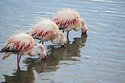 Three Greater flamingos (Phoenicopterus ruber). forging for food. Photographed in Serengeti National Park, Tanzania