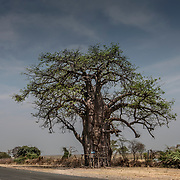20211007 Kasane Botswana <br /> <br /> Baobab träd <br /> ----<br /> FOTO : JOACHIM NYWALL KOD 0708840825_1<br /> COPYRIGHT JOACHIM NYWALL<br /> <br /> ***BETALBILD***<br /> Redovisas till <br /> NYWALL MEDIA AB<br /> Strandgatan 30<br /> 461 31 Trollhättan<br /> Prislista enl BLF , om inget annat avtalas.