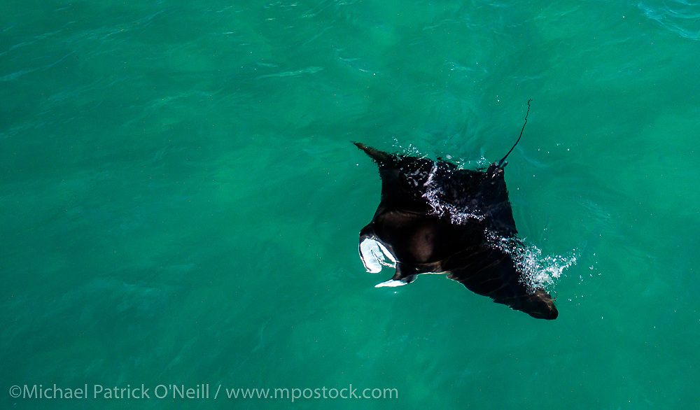 A Reef Mantra Ray, Manta alfredi, feeds in the shallows offshore Singer Island, Florida, United States.