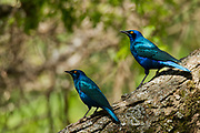 Greater blue-eared glossy starling (Lamprotornis chalybaeus). This glossy starling is found in the bushlands and woodlands of Africa. It forms large flocks in the winter, feeding on anything from fruits to insects and scraps of human food. In the summer it forms pairs to mate. Photographed in Ethiopia