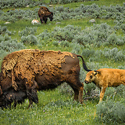 Bison: The Lamar Valley teems with wildlife, Yellowstone National Park, Wyoming.