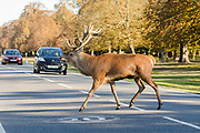 A stag deer crosses the road in front of cars in Bushy Park, London, England on October 01, 2018.