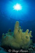 pillar coral, Dendrogyra cylindrus, on shallow reef, Biscayne National Park, Florida ( Atlantic Ocean )