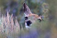 Mule Deer, doe, Sierra Nevada Mountains, Bridgeport, Callifornia
