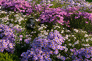 Different varieties of Asters in the nursery stock beds: Aster amellus 'King George,  Aster Symphytotrichum novi Belgi ''Chatterbox,  Aster Symphotrichum novi belgi 'Waterperry' at Waterperry Gardens, Waterperry, Wheatley, Oxfordshire