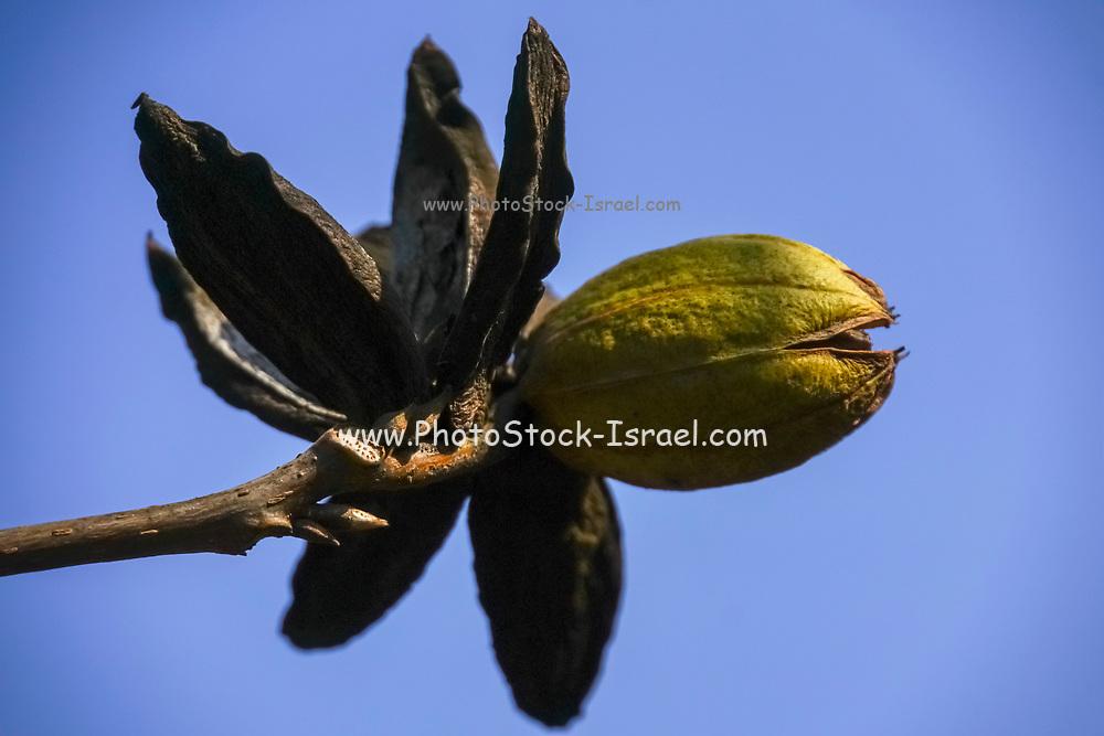 Pecan nut on a pecan tree blue sky background