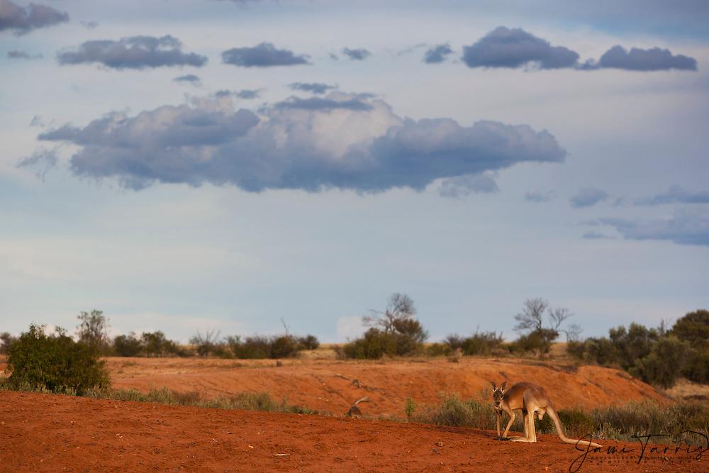 Red kangaroo  (Macropus rufus) sit on gibber plains against a dramatic stormy sky at sunset,  Sturt Stony Desert,  Australia