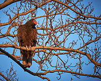 Turkey Vulture in a tree.  Image taken with a Fuji X-T1 camera and 100-400 mm OIS lens (ISO 200, 386 mm, f/5.6, 1/125 sec)