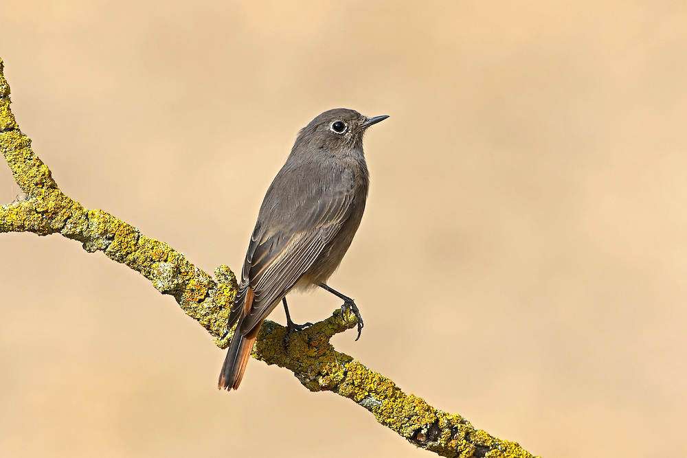 Black Redstart - Phoenicurus ochruros - female. (L 14cm) has benefited from urban sprawl and indeed often thrives in areas where industrial dereliction prevails. It is a bold bird that perches conspicuously, quivering striking red tail in an obvious manner. Adult males are particularly striking, with slate-grey body plumage darkest on the face and breast. By comparison, female and immature birds are rather drab, with mainly grey-brown body plumage. In a strange way, the Black Redstart's song sometimes match its surroundings and includes curious crackling, static-like phrases. Between 50 and 100 pairs attempt to nest here each year but the species is more numerous as a passage migrant and occasional winter visitor to south coasts.