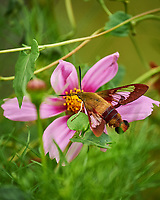 Hummingbird Clearwing Moth (Hemaris thysbe) Feeding on a Cosmos Flower. Image taken with a Nikon Df camera and 70-300 mm VR lens