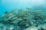 Common Snook, Centropomus undecimalis, , school in the Jupiter Inlet, Florida, to spawn during the summer months.