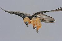 Lammergeier; Gypaetus barbatos; , Cebollar, Torla, Aragon, Spain.