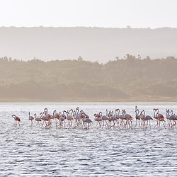 Flamingo (Phoenicopterus roseus) fotografado na África do Sul. Registro feito em 2019.<br /> ⠀<br /> ⠀<br /> <br /> <br /> <br /> <br /> ENGLISH: Greater flamingo photographed in South Africa. Picture made in 2019.