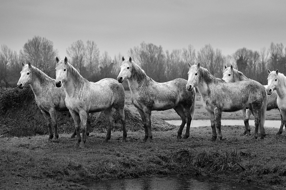High Quality Fine Art Prints <br /> Camargue horses, photo taken at Cona Island, Italy <br /> <br /> 20 x 30 cm - Numbered Limited Edition of 25 <br /> 30 x 45 cm - Numbered Limited Edition of 25 <br /> 50 x 75 cm - Numbered Limited Edition of 12<br /> <br /> Printed at professional lab in Milan on Hahnemühle Photo Rag papers.<br /> They all come signed and numbered.<br /> <br /> Frame NOT included.<br />  <br /> Shipment<br /> Make sure that the address of delivery is correct and that there are all the elements necessary to identify the exact delivery address (first/ last name/number on the intercom, preferred delivery times, scale, internal, mobile phone number for quick contact, etc).<br /> Once the print is ready, It will be shipped via courier and you will receive a tracking number. Please allow up to one week to fulfil the order plus 2 to 5 business days for delivery (depending on location).<br /> <br /> How to handle the print <br /> On receipt, take care in removing it from the cardboard or the tube. Each print has a white paper border to allow the framer to handle the print and for protection during transport. I recommend that you take it straight to a framer to ensure optimal condition.<br /> <br /> Prices<br /> Pricing is for print only. Sizes other than those listed are available on request. Framing options are also available on request. As these are Limited Editions, prices may rise as availability decreases.<br /> <br /> Returns<br /> In the unfortunate event that the print arrives damaged (and that you can show that it was damaged before arrival), please make contact and send it back to me within 14 days, I will replace it on receipt of the damaged print back to me.<br /> <br /> Message me for questions about crops, sizes, papers, prints, deliveries or framing. <br /> Email: pcruciatti@gmail.com or whatsapp +39.335.6263208