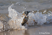 crested or swift tern chick, Sterna bergii or Thalasseus bergii, braces against a wavelet - if washed into the sea it may fall prey to sharks that patrol the shoreline, Turu Cay, Torres Strait, Queensland, Australia