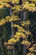 Yellow and orange fall foliage on a large Bigleaf Maple Tree (Acer macrophyllum). Photographed at Duck Creek Park on Salt Spring Island, British Columbia, Canada.